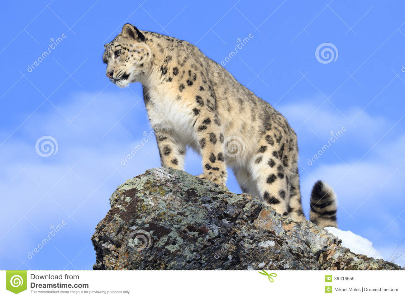 Snow Leopard On Mountain Ridge Royalty Free Stock Images - Image ...