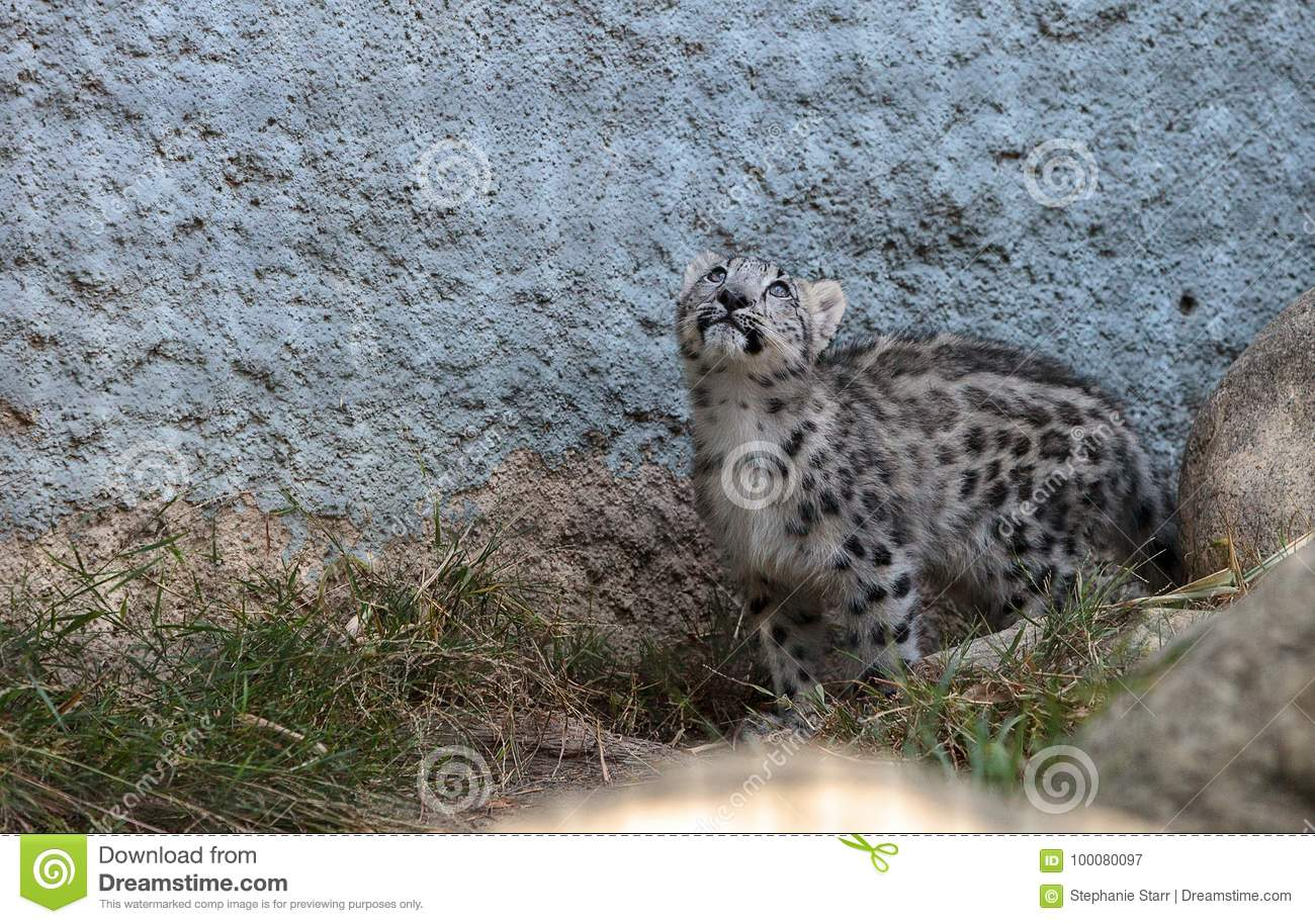 Snow Leopard Panthera Uncia Stock Image - Image of relax