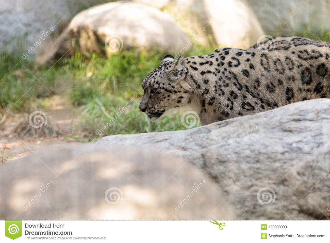 Snow Leopard Panthera Uncia Stock Photo - Image of baby