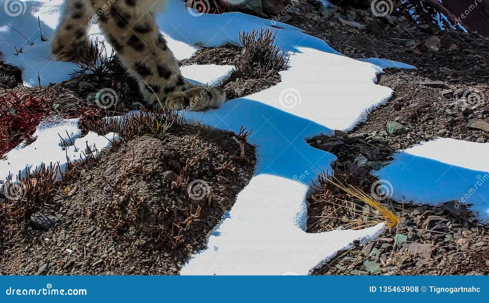 Snow leopard Panthera uncia in winter snow scene