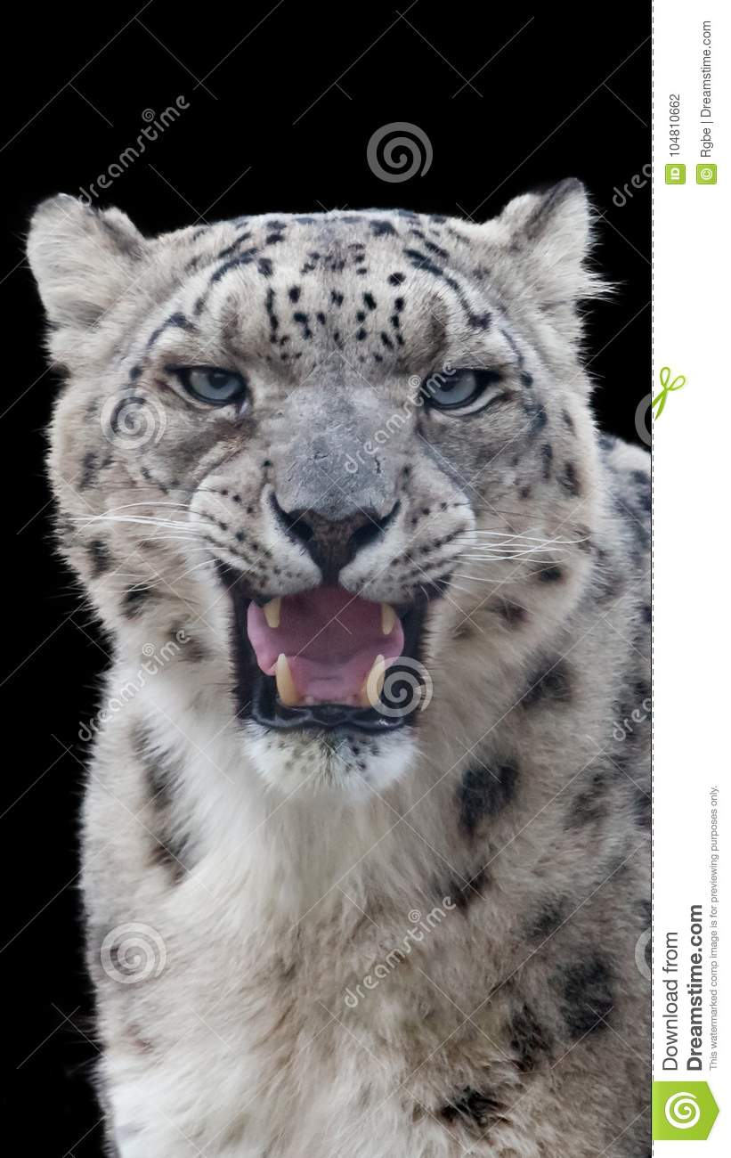 Snow leopard portrait with a black background
