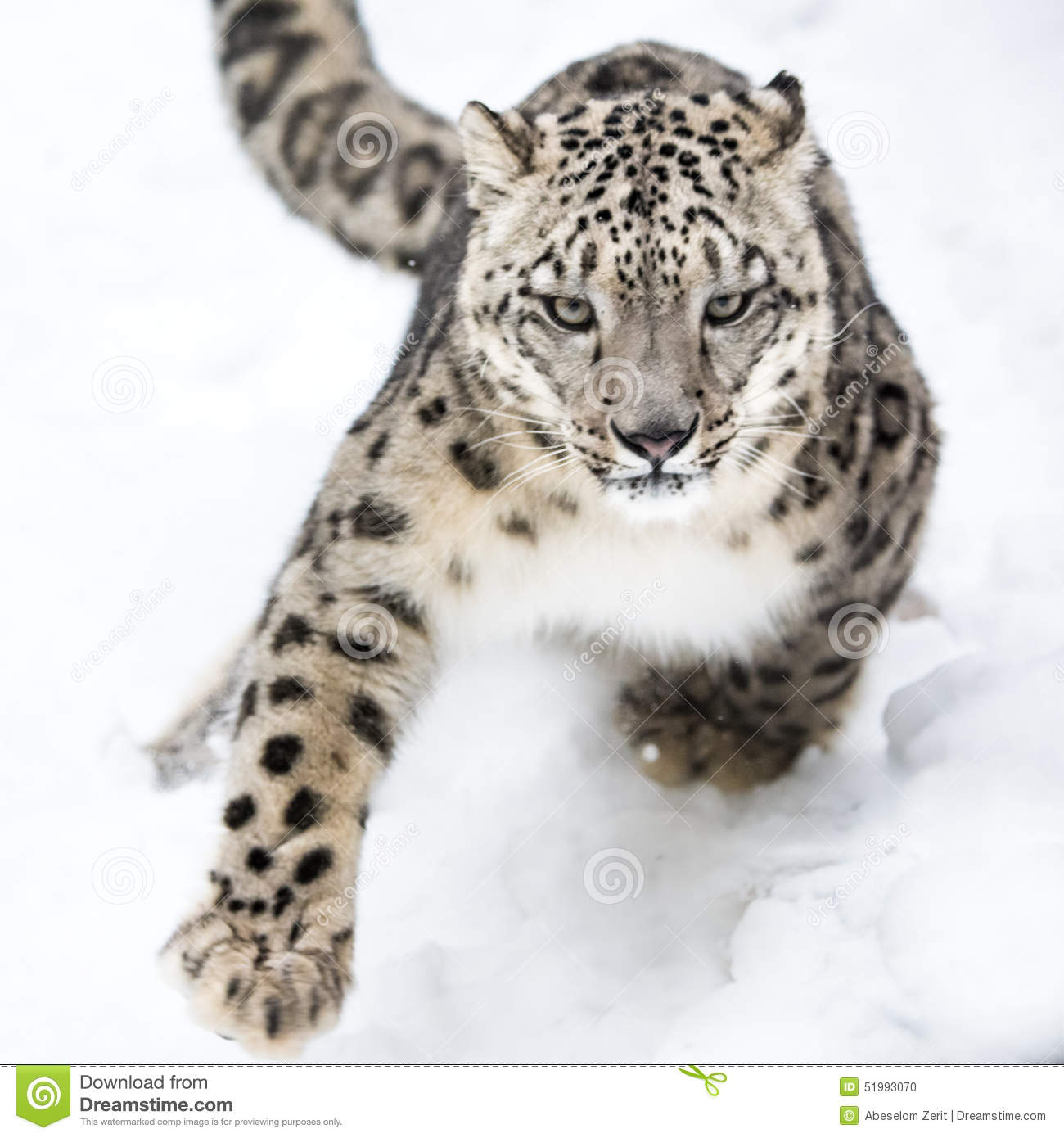 Snow Leopard Running in Snow.