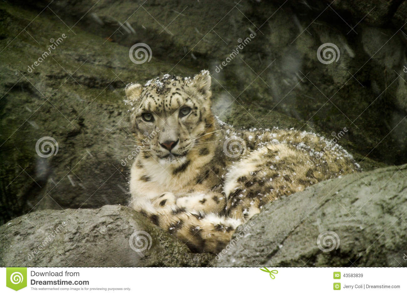 Snow Leopard at Roger Williams Zoo.