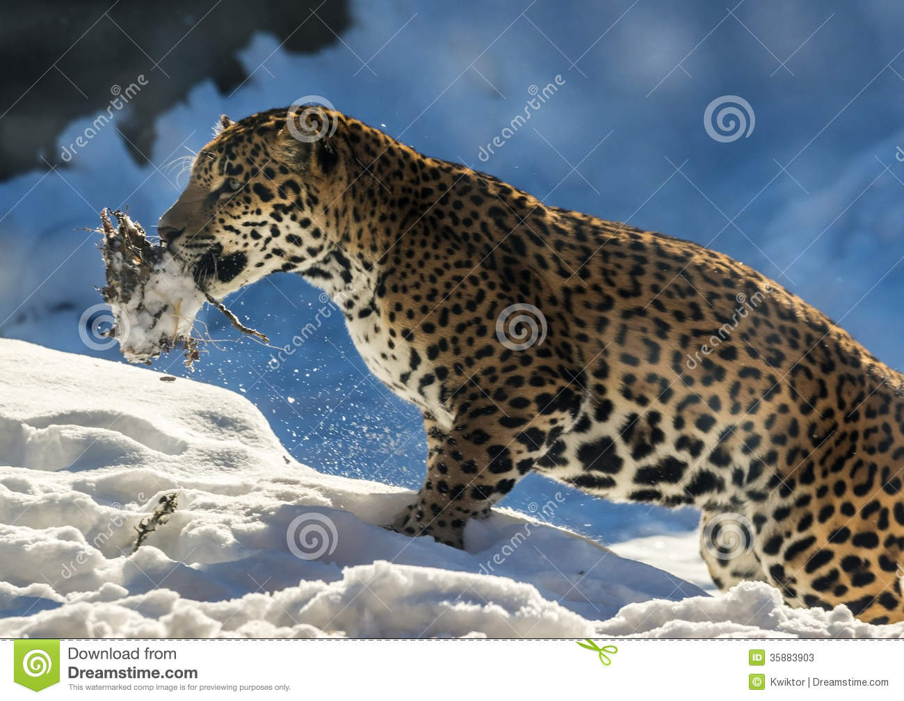 Side view of snow leopard in winter snow with caught animal in mouth.