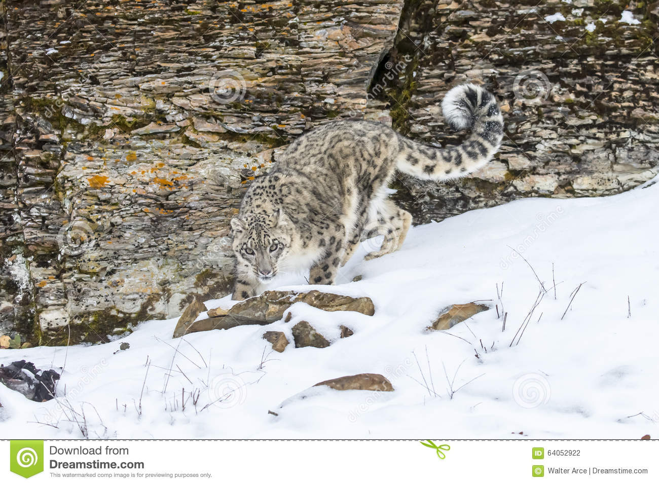 Snow leopard hunting prey - photo#28