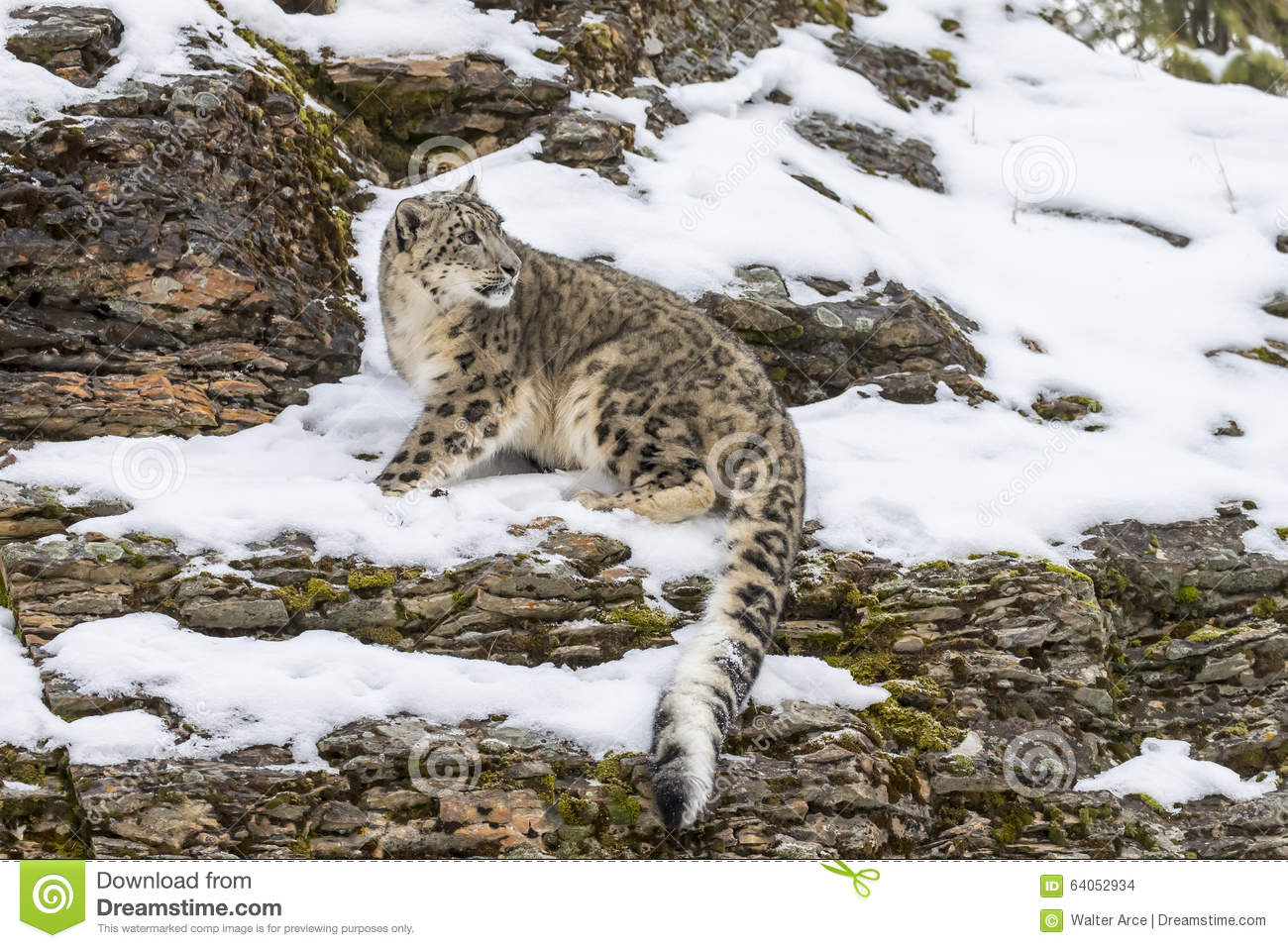 Snow leopard hunting prey - photo#26