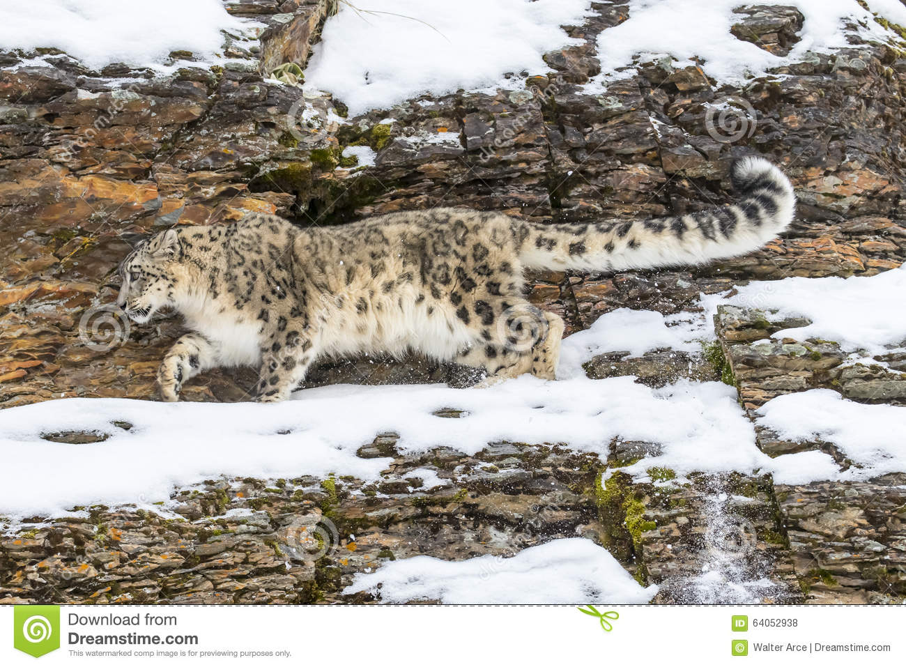 Snow leopard hunting prey - photo#14