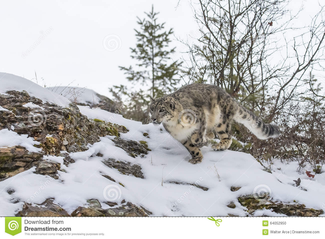 Snow leopard hunting prey - photo#8