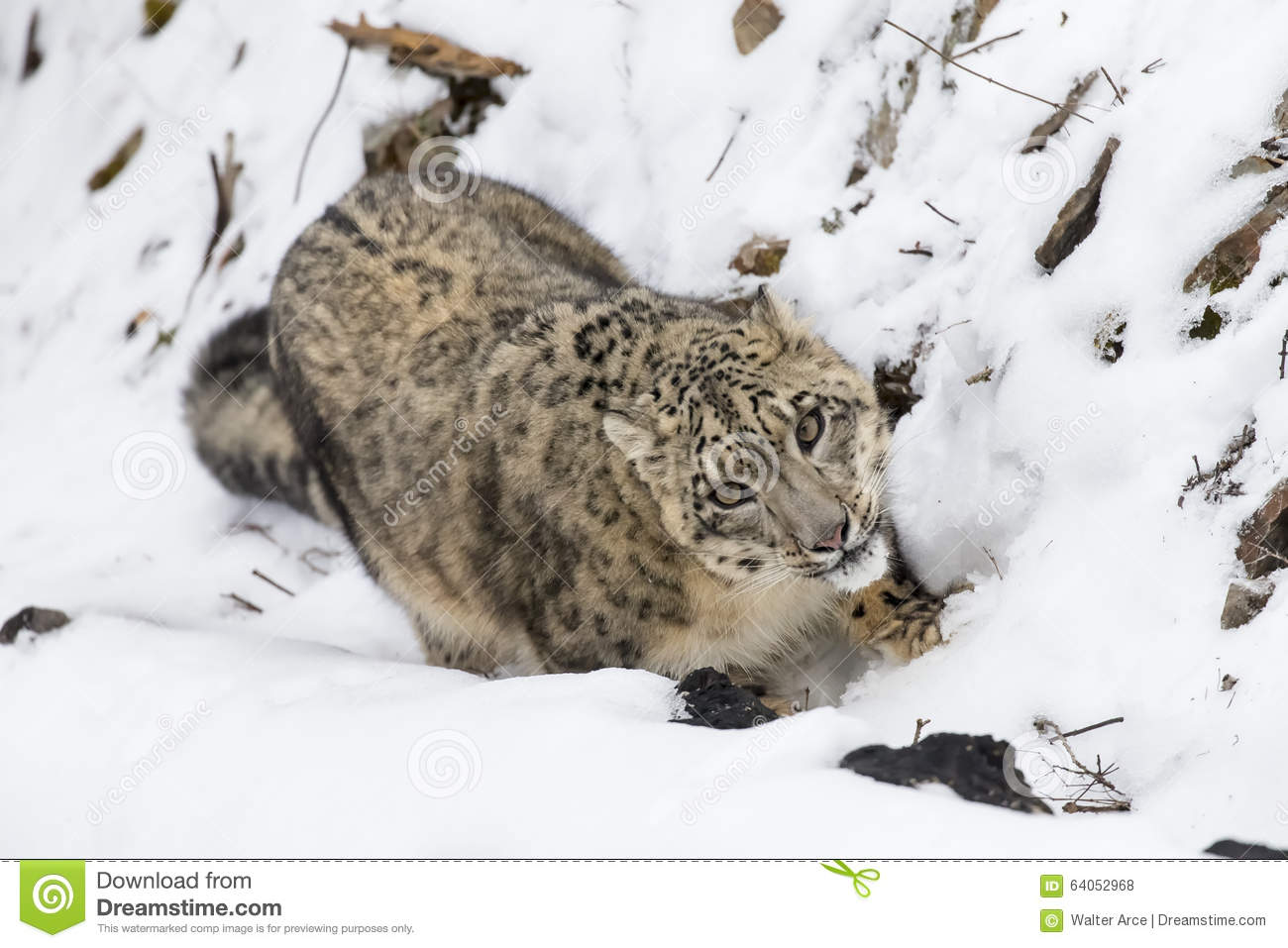 Snow leopard hunting prey - photo#20