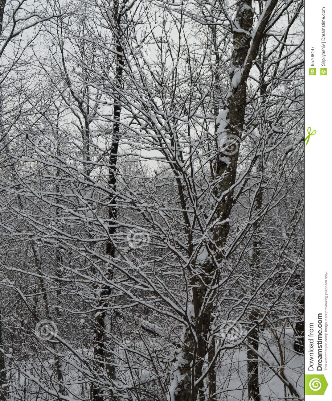 Snow lying on the branches of spruce is perfectly poured, the village East where a real winter a lot of snow which shimmers under