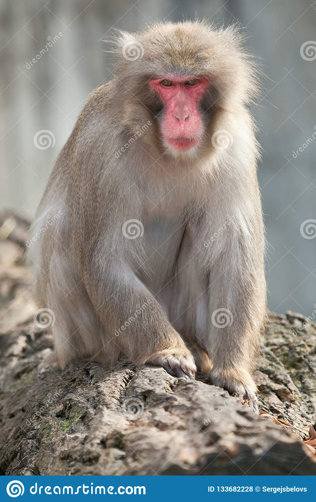 A snow monkey Japanese Macaque cuddling her baby near a warm spring