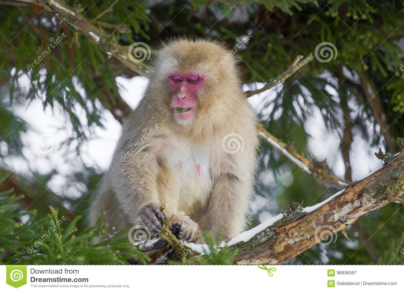 Snow Monkey Nibbling on Leaves in Tree