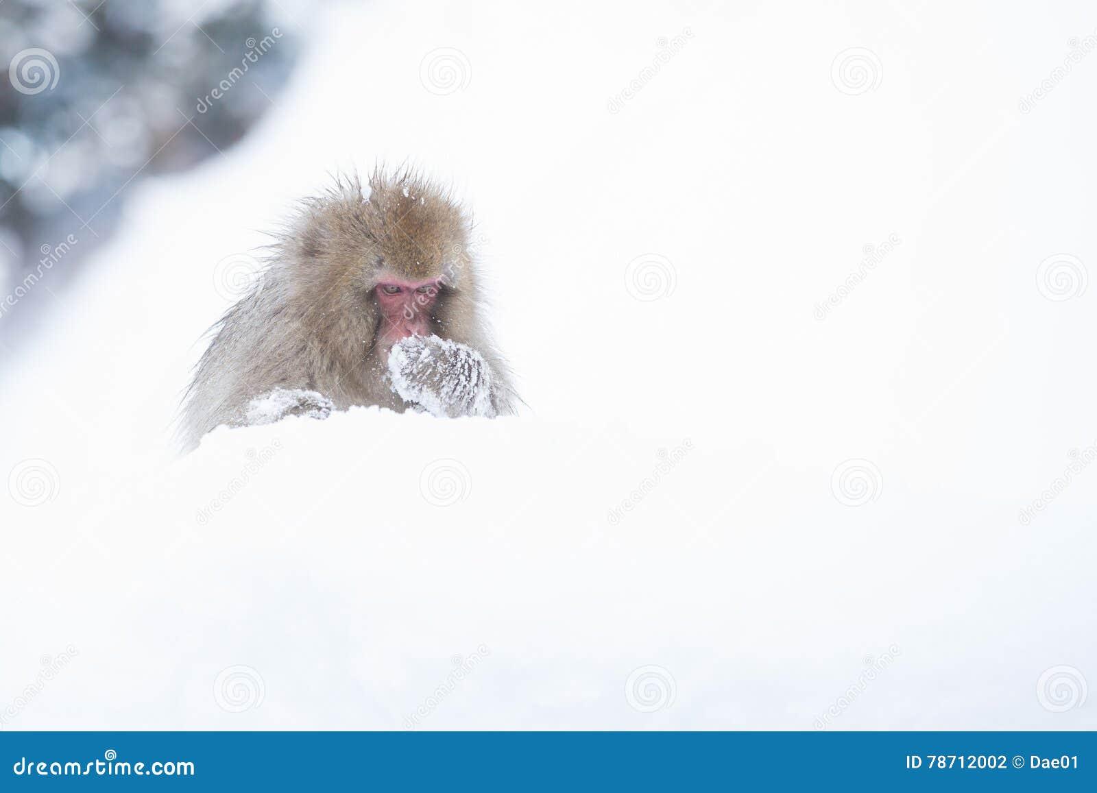 Snow monkeys in a natural onsen (hot spring), located in Jigokudani Park, Yudanaka. Nagano Japan.