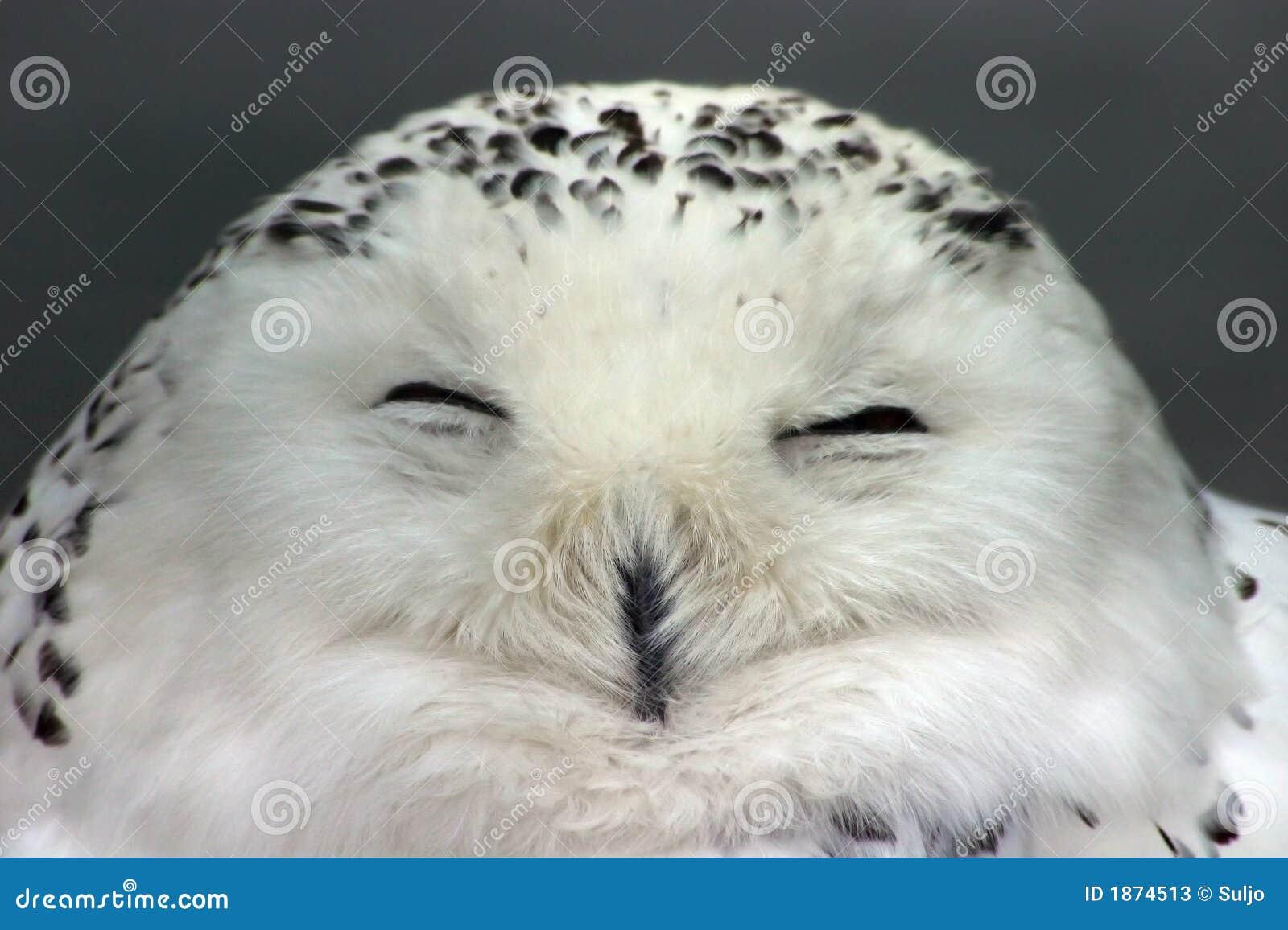 snow owl stock image image of yellow dreamy snow