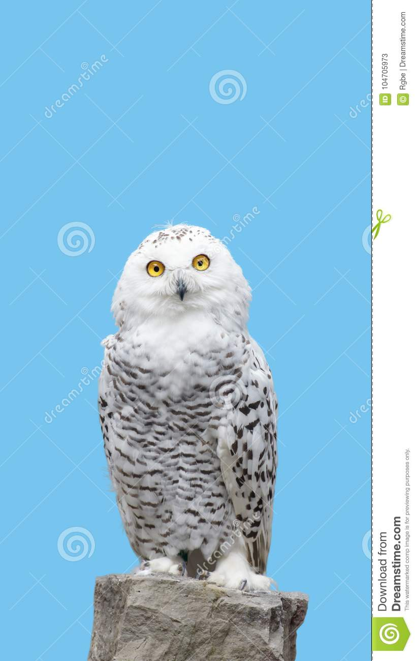 Snow owl stand on rock