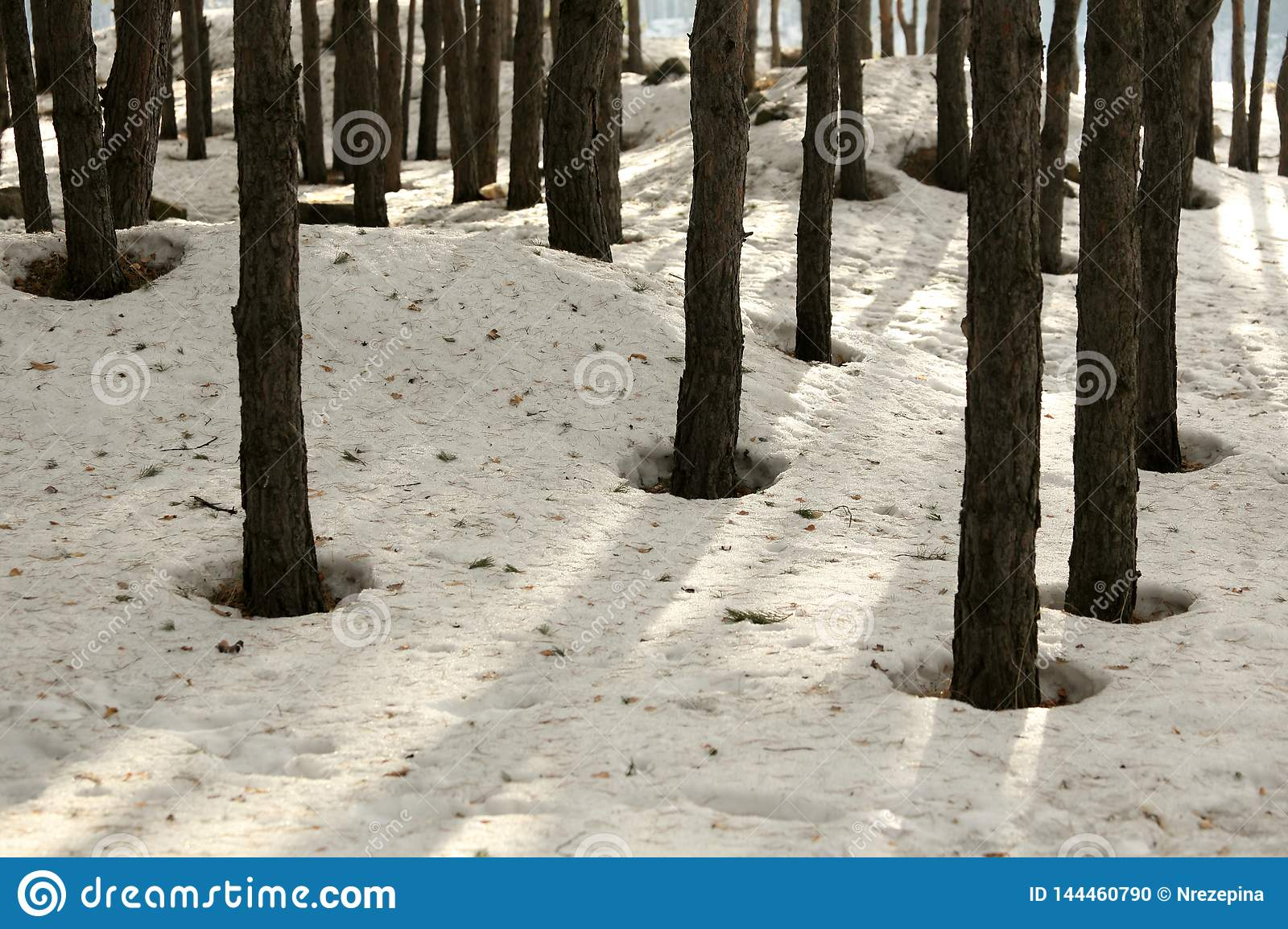 Snow in a pine forest in spring