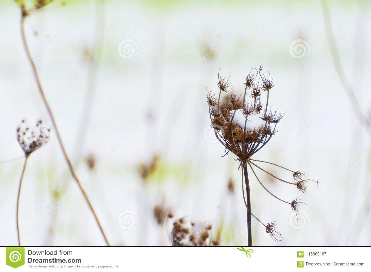 Snow On Queen Anne Lace Dried Stem Stock Image - Image of