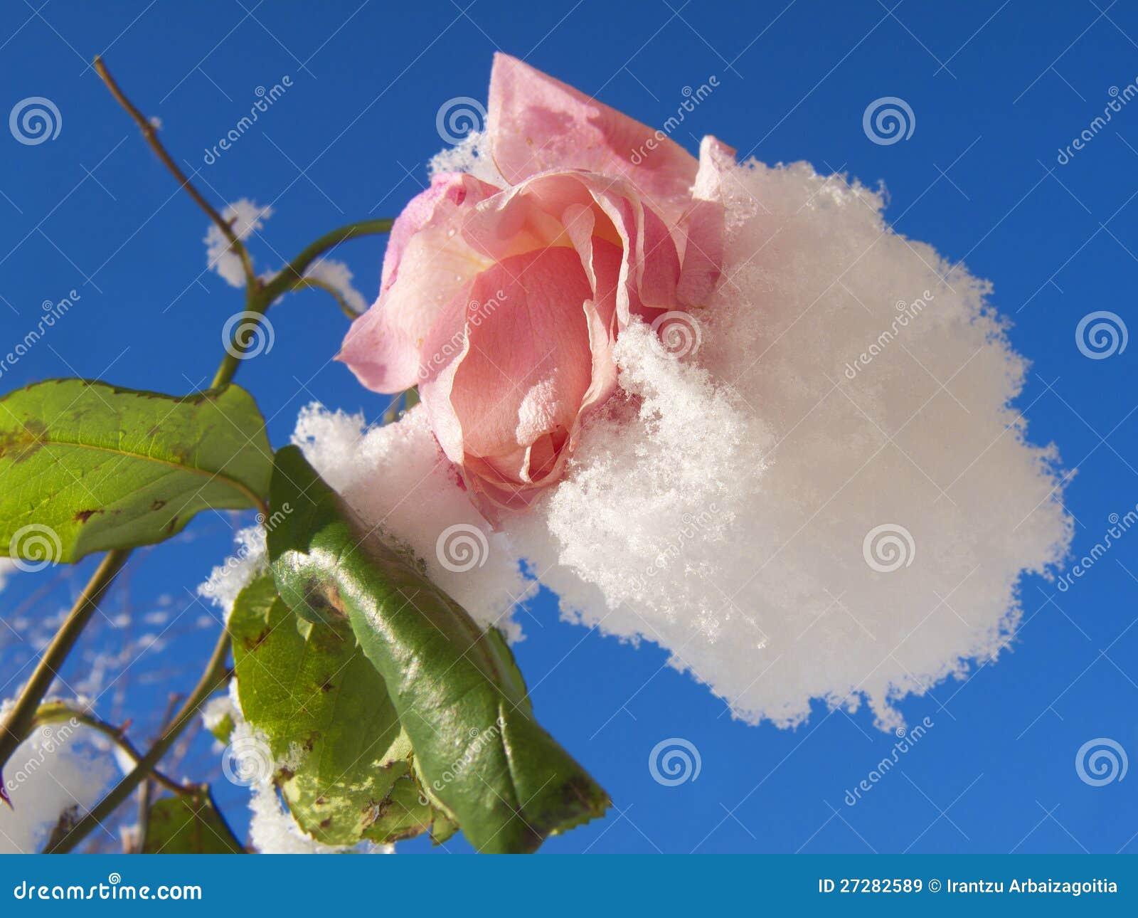 Snow räknade pinkrosen och den blåa skyen