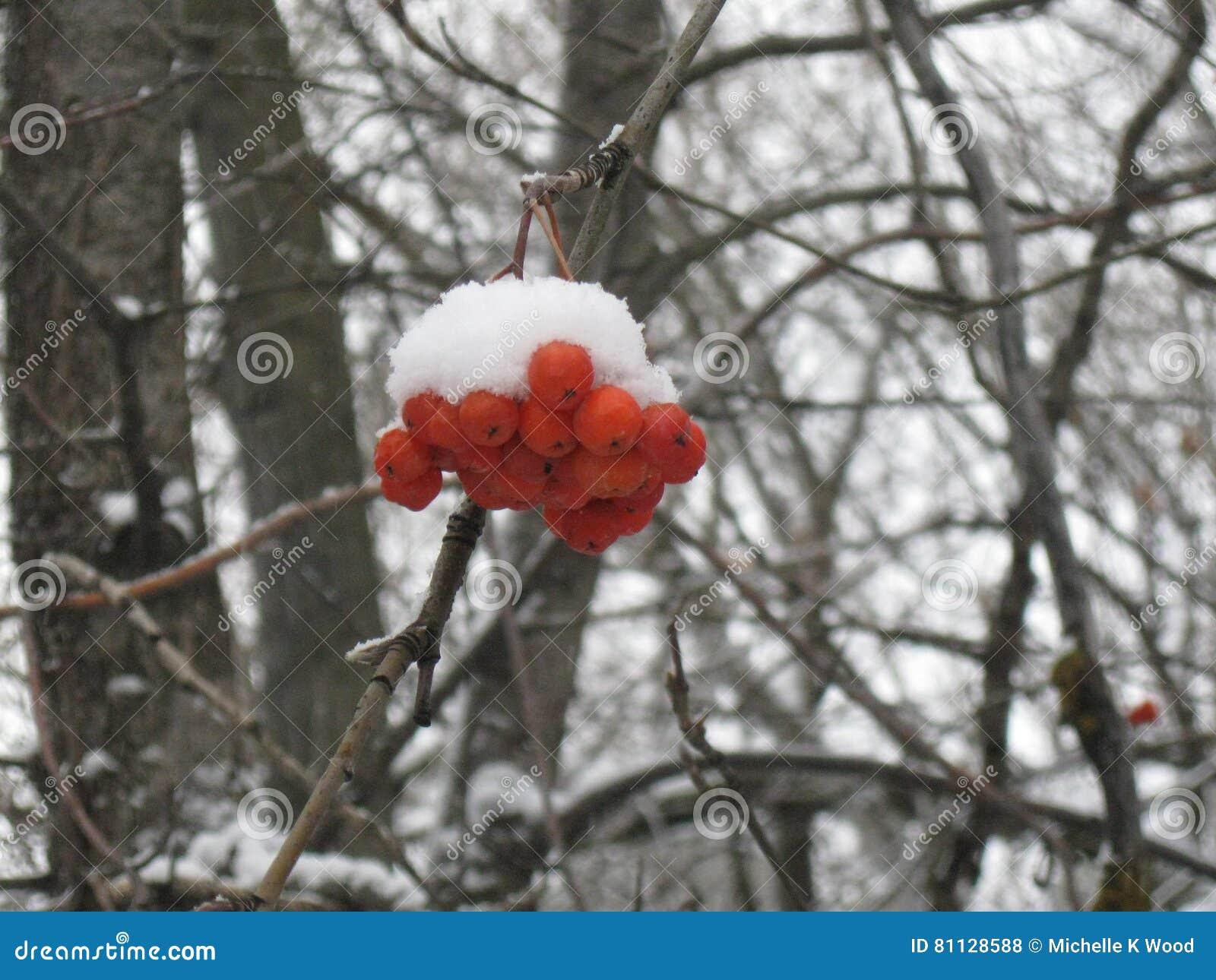 Snow on red berries Greenbelt Boise Idaho