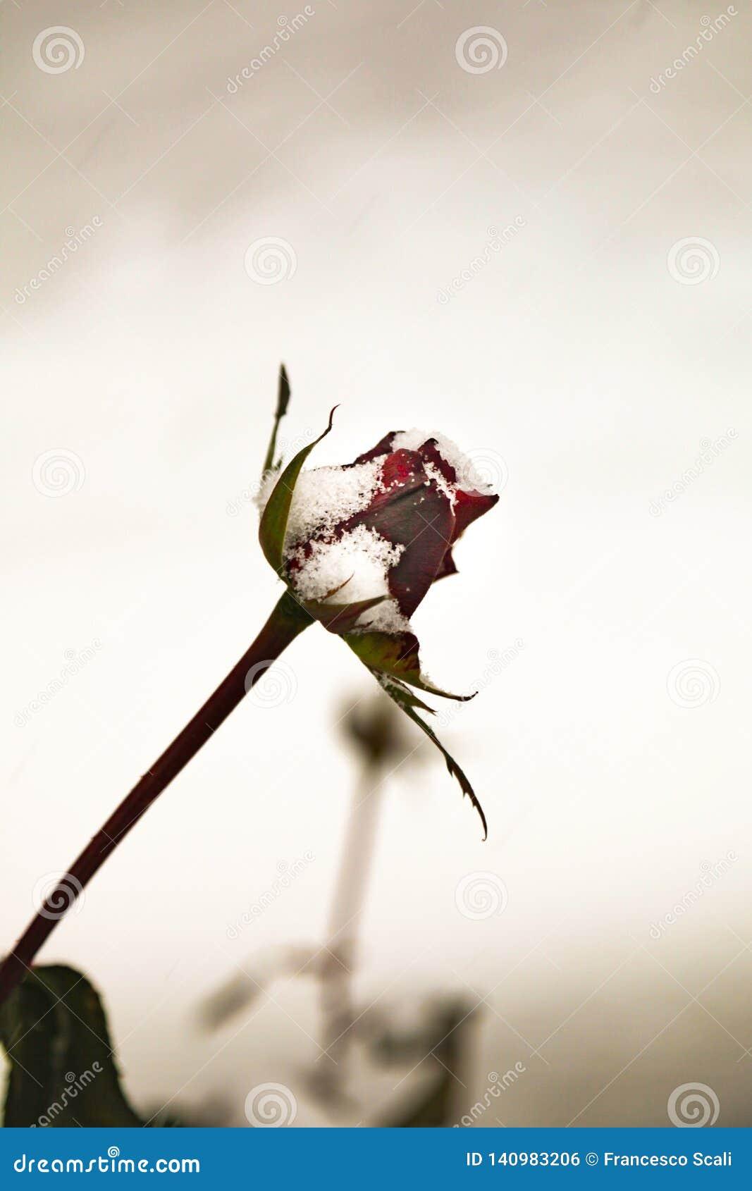 Snow on a rosebud