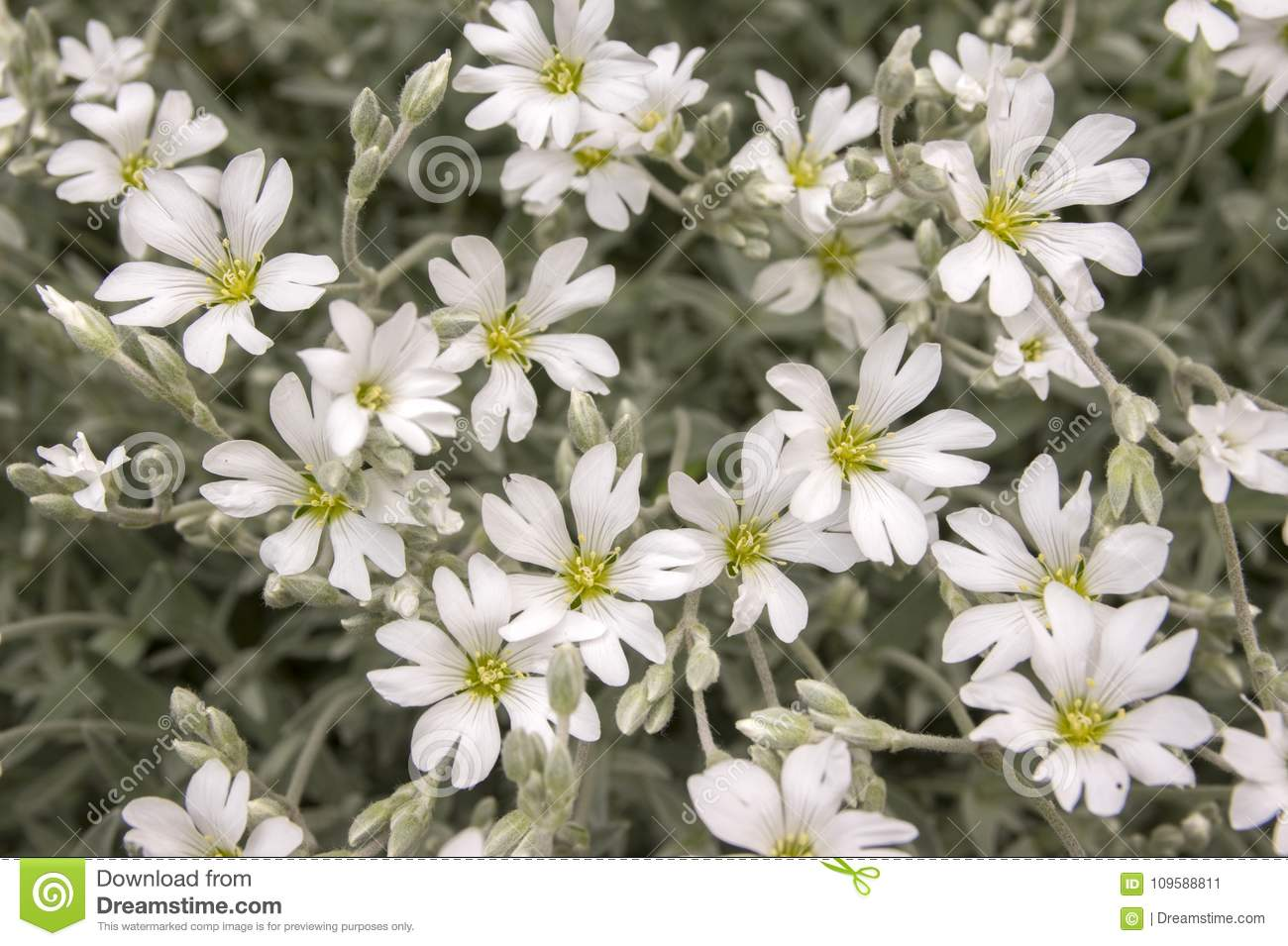 Snow in summer cerastium tomentosum in bloom white flowers download snow in summer cerastium tomentosum in bloom white flowers background stock mightylinksfo