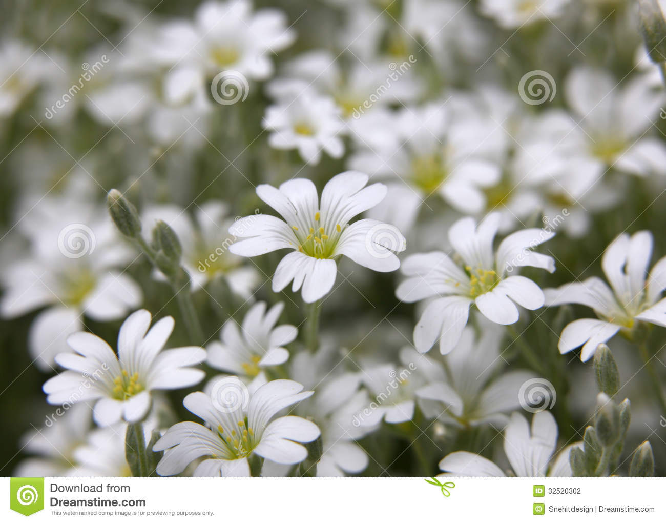 Snow In Summer Flowers Stock Photo Image Of Beautiful 32520302
