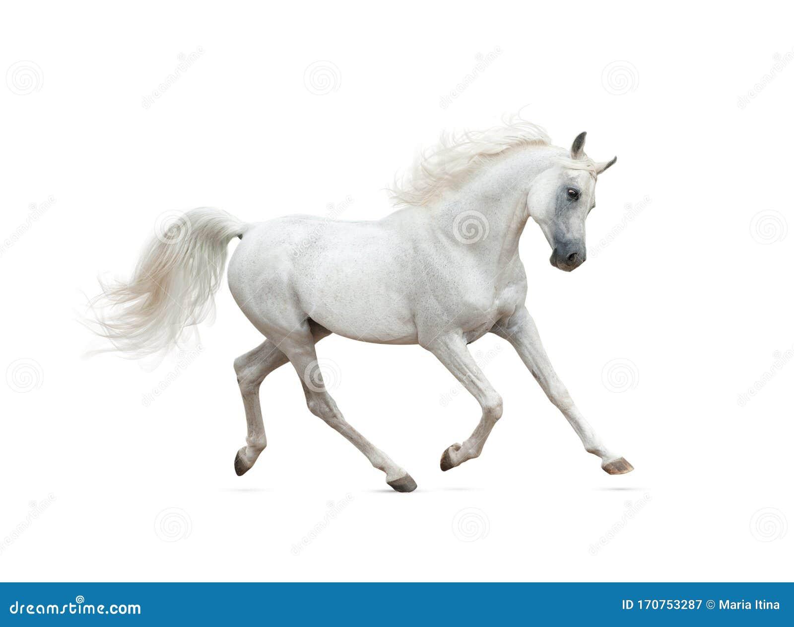 Snow White Arabian Horse Running Isolated Stock Image Image Of Pure Freedom 170753287