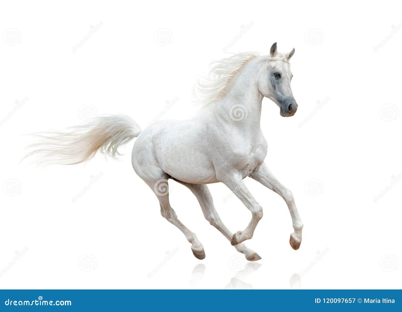 Snow White Arabian Stallion Stock Image Image Of High Snow 120097657