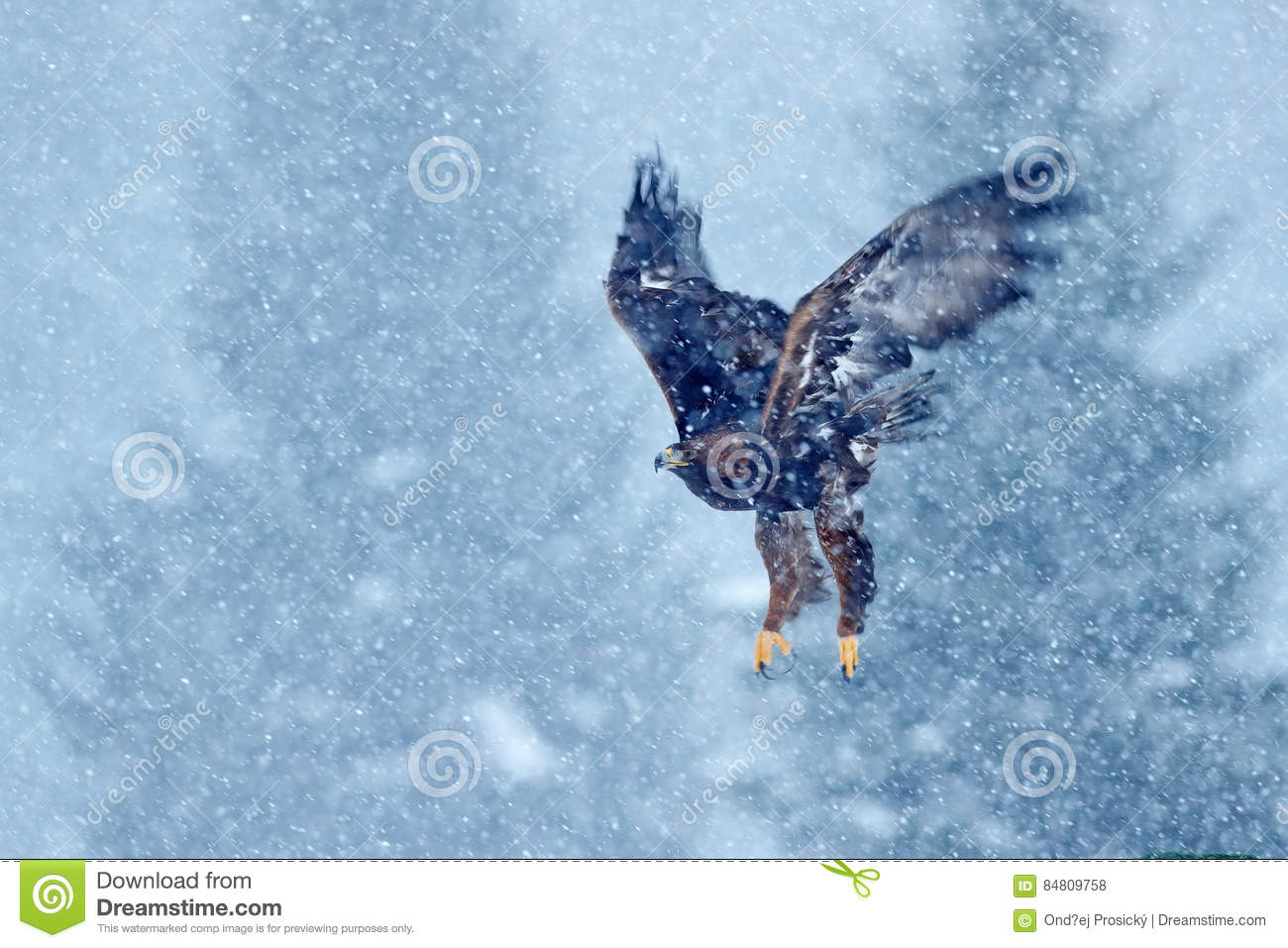 Snow winter with eagle. Bird of prey White-tailed Eagle, Haliaeetus albicilla, flying with snow flake, dark forest in background.
