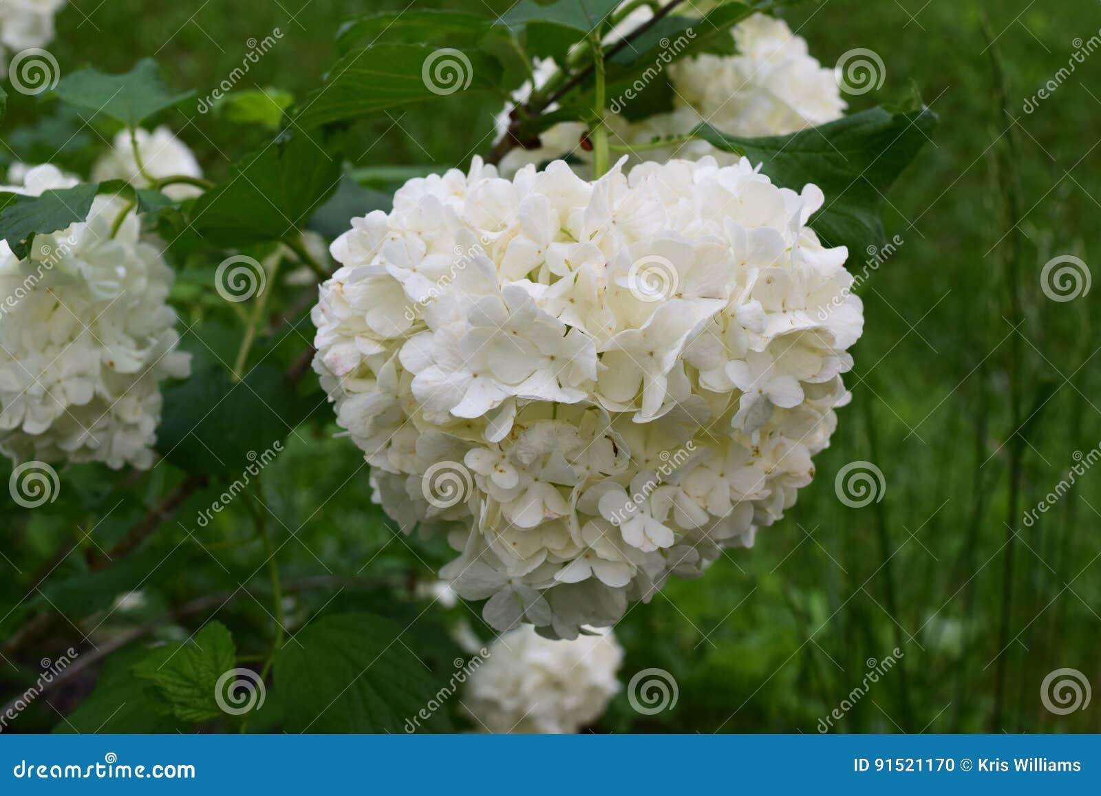 Snowball bush white bloom