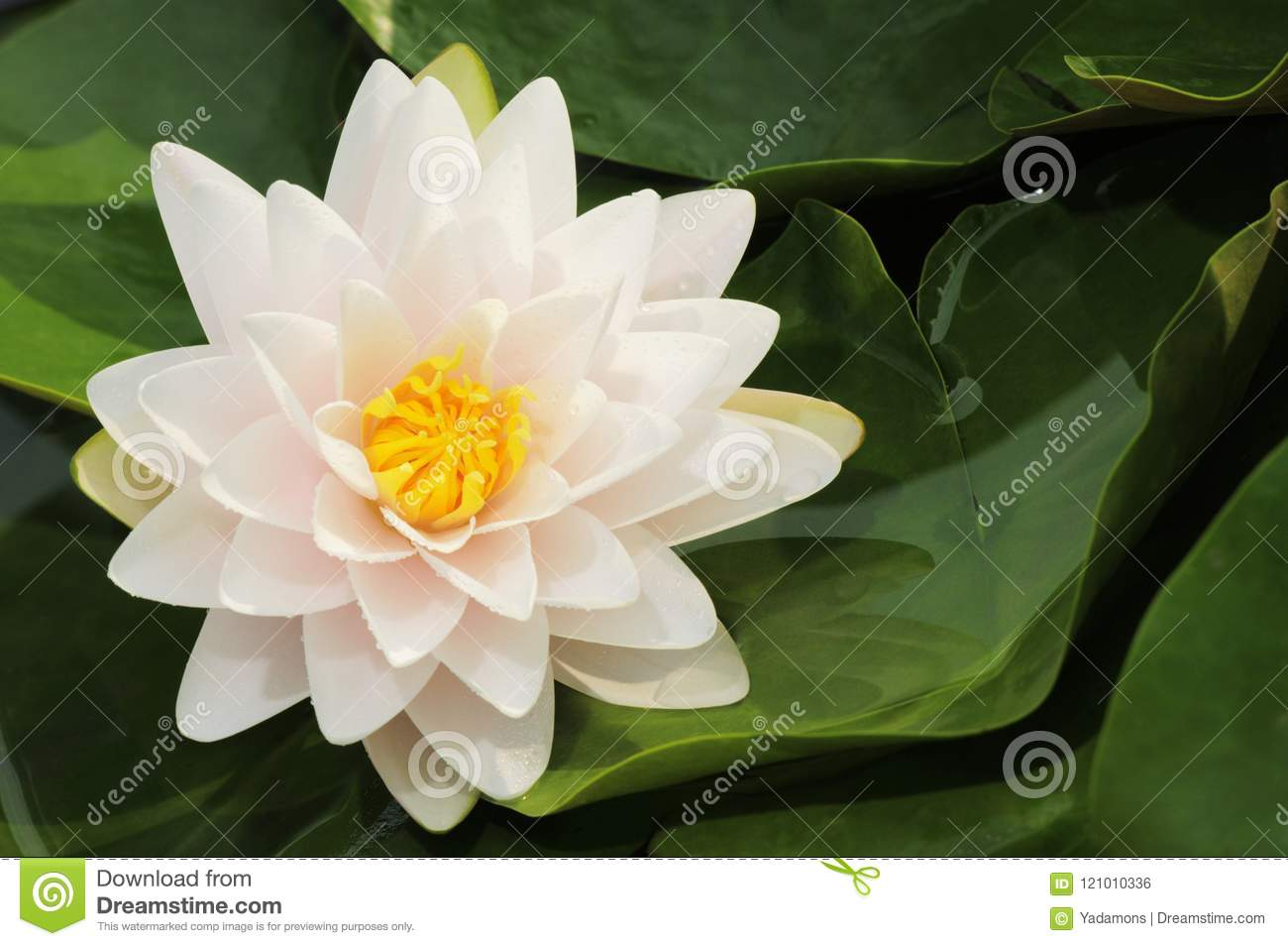 Snowball water lily lotus flower closeup scene on green leaf open snowball water lily lotus flower closeup scene on green leaf open space on right izmirmasajfo