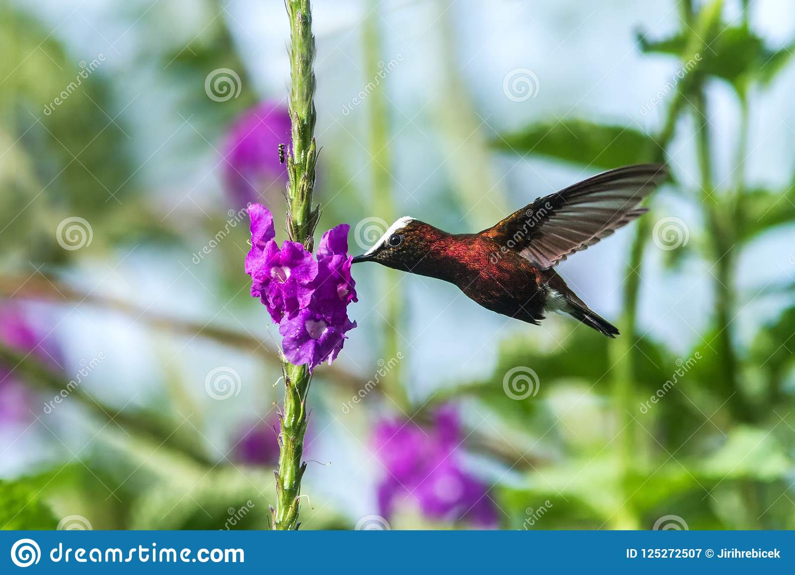 Snowcap, flying next to violet flower, bird from mountain tropical forest, Costa Rica, natural habitat, endemic