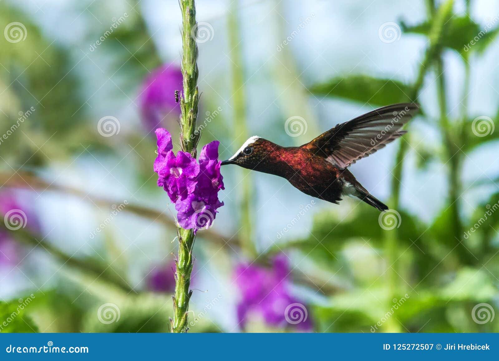 Snowcap, volante accanto al fiore viola, uccello dalla foresta tropicale della montagna, Costa Rica, habitat naturale, endemico