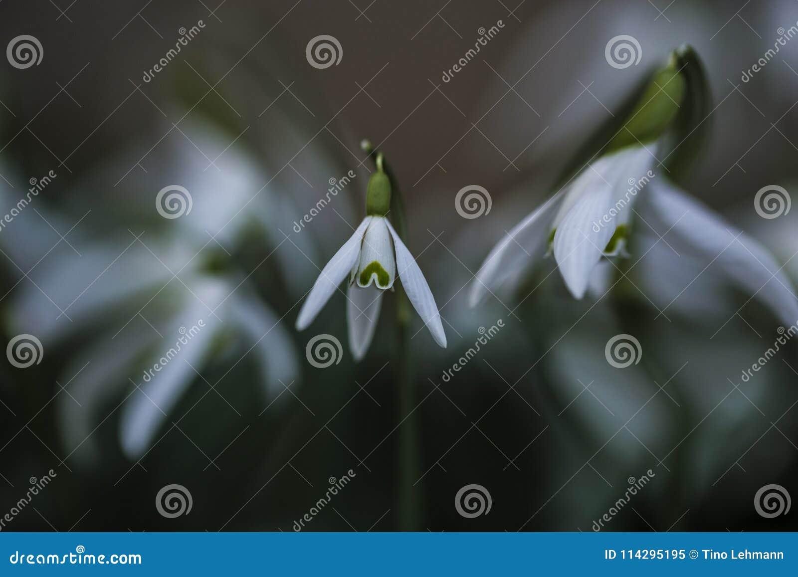 Snowdrop весной с весьма Bokeh