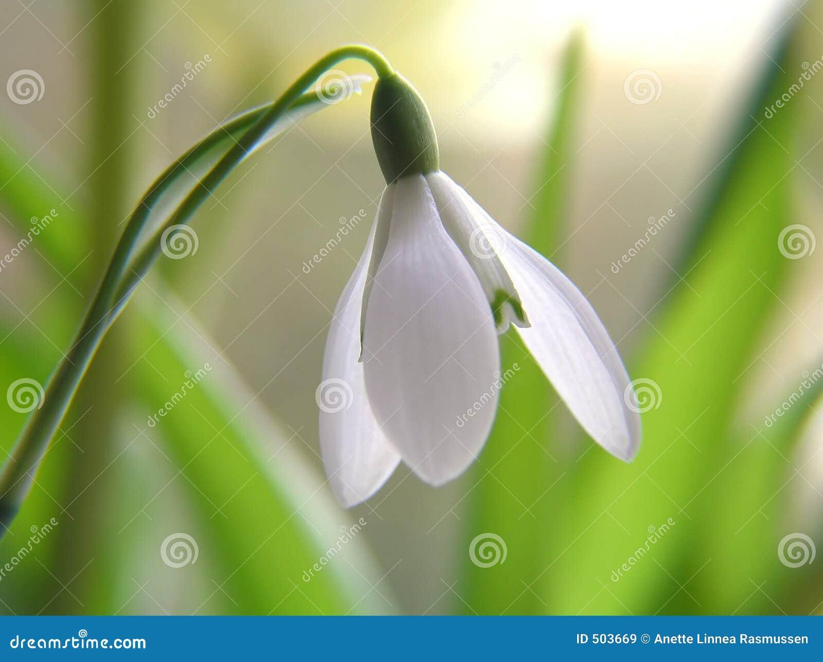 Snowdrop цветка