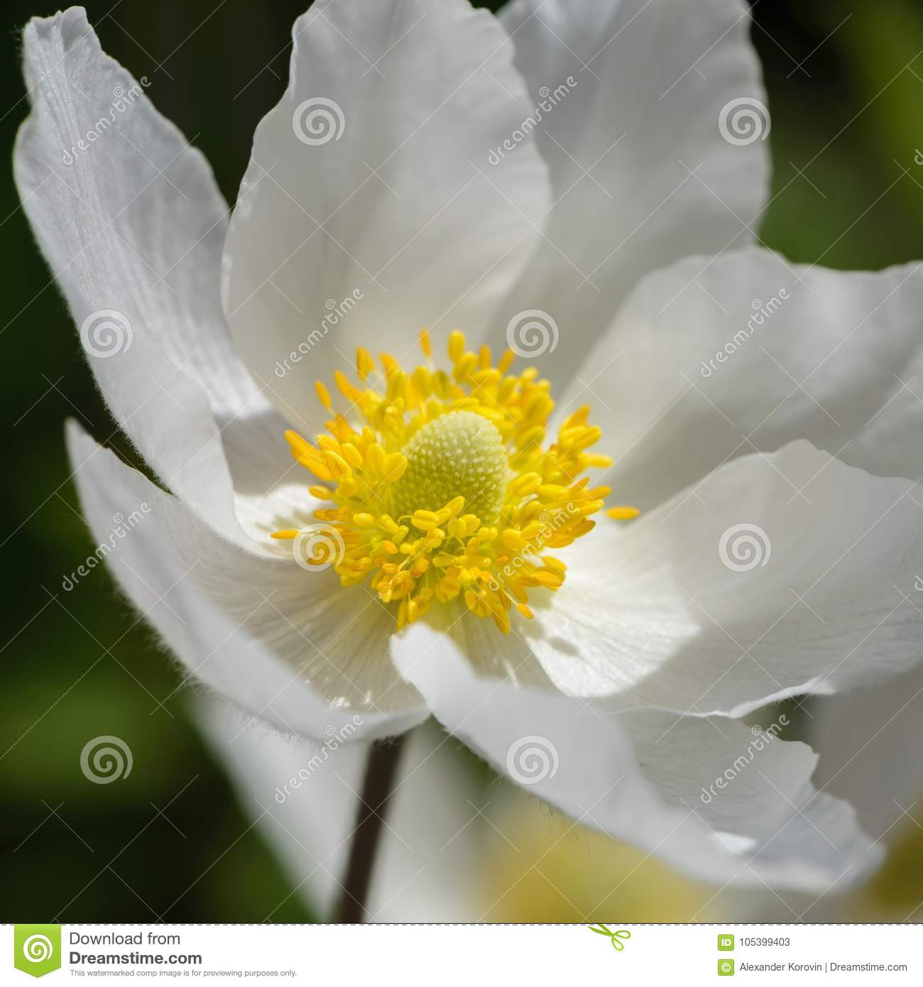 Snowdrop Anemone Blossom Large White Flower With Yellow Stamen
