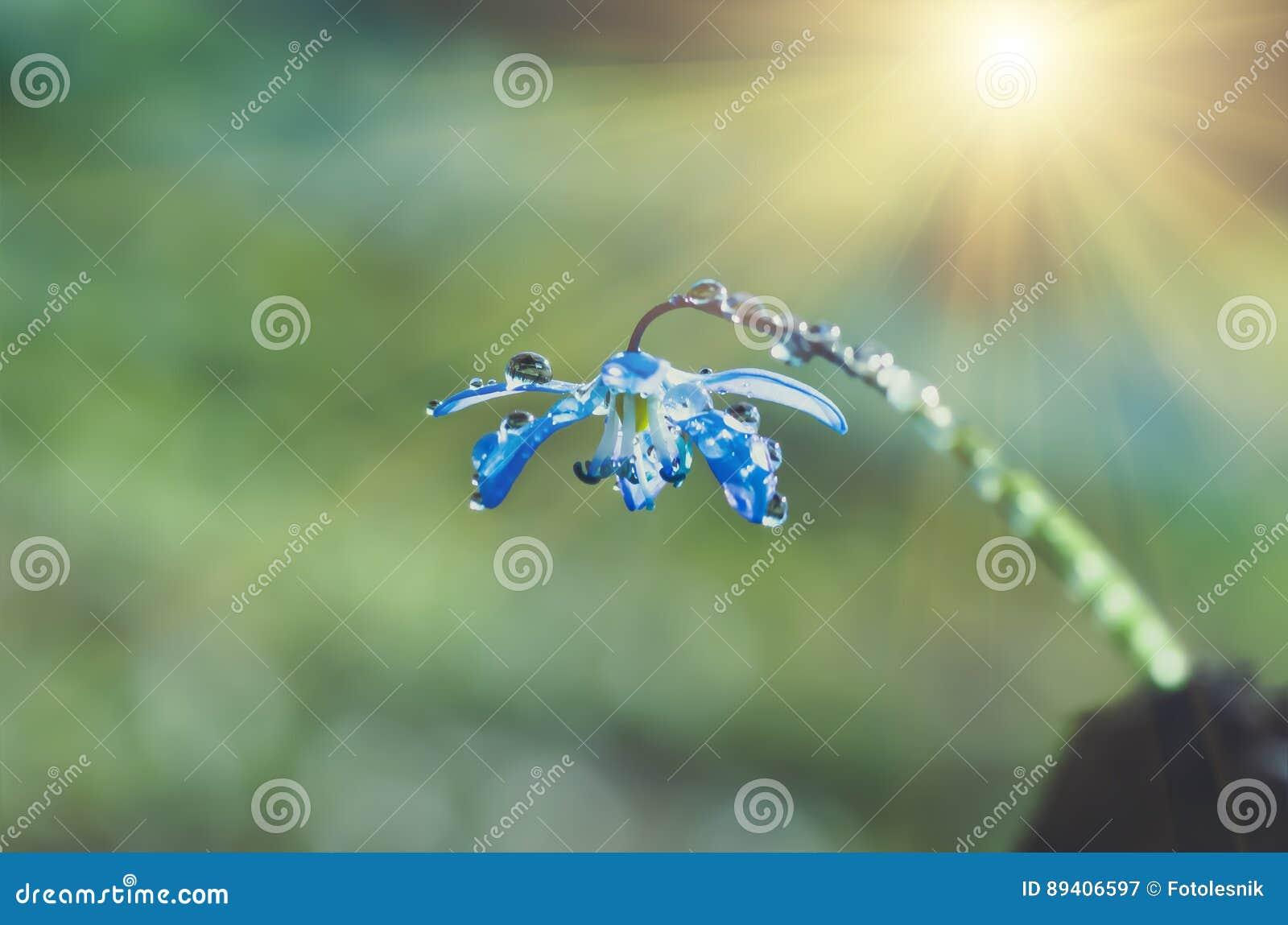 Snowdrop azul Scilla Squill da mola da flor da flor