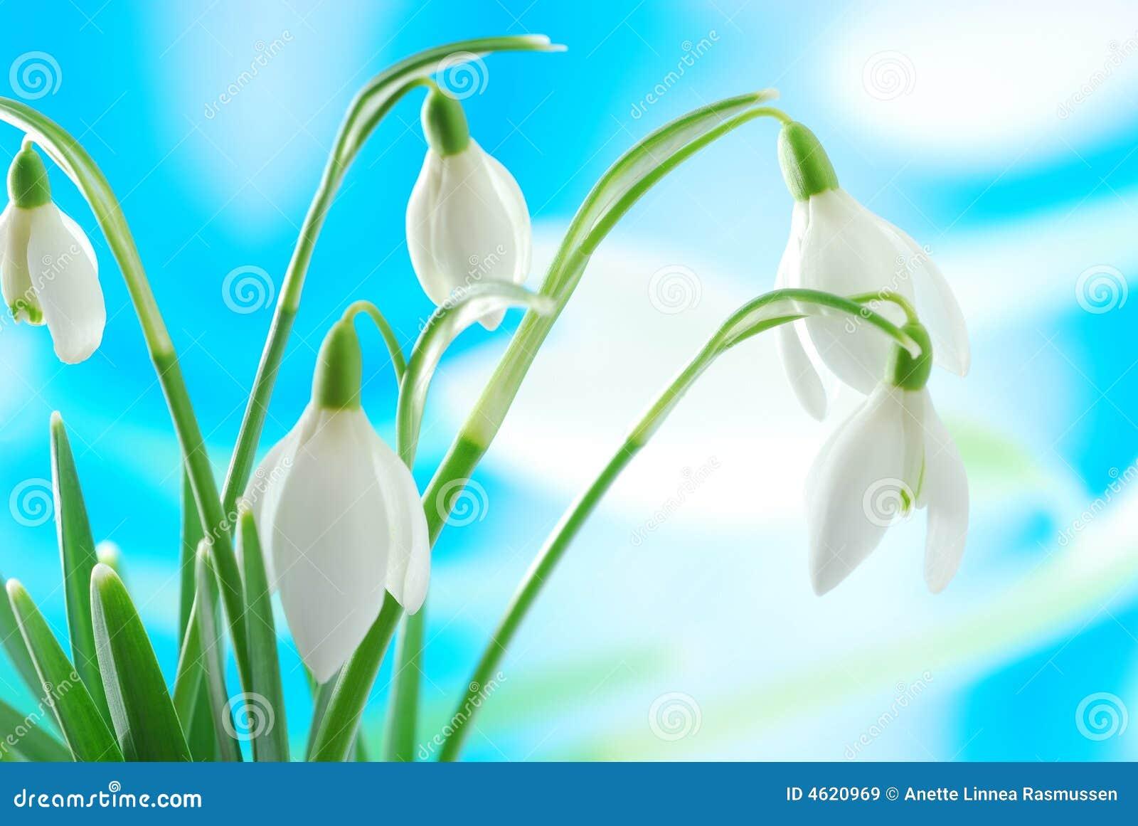Snowdrop blanco