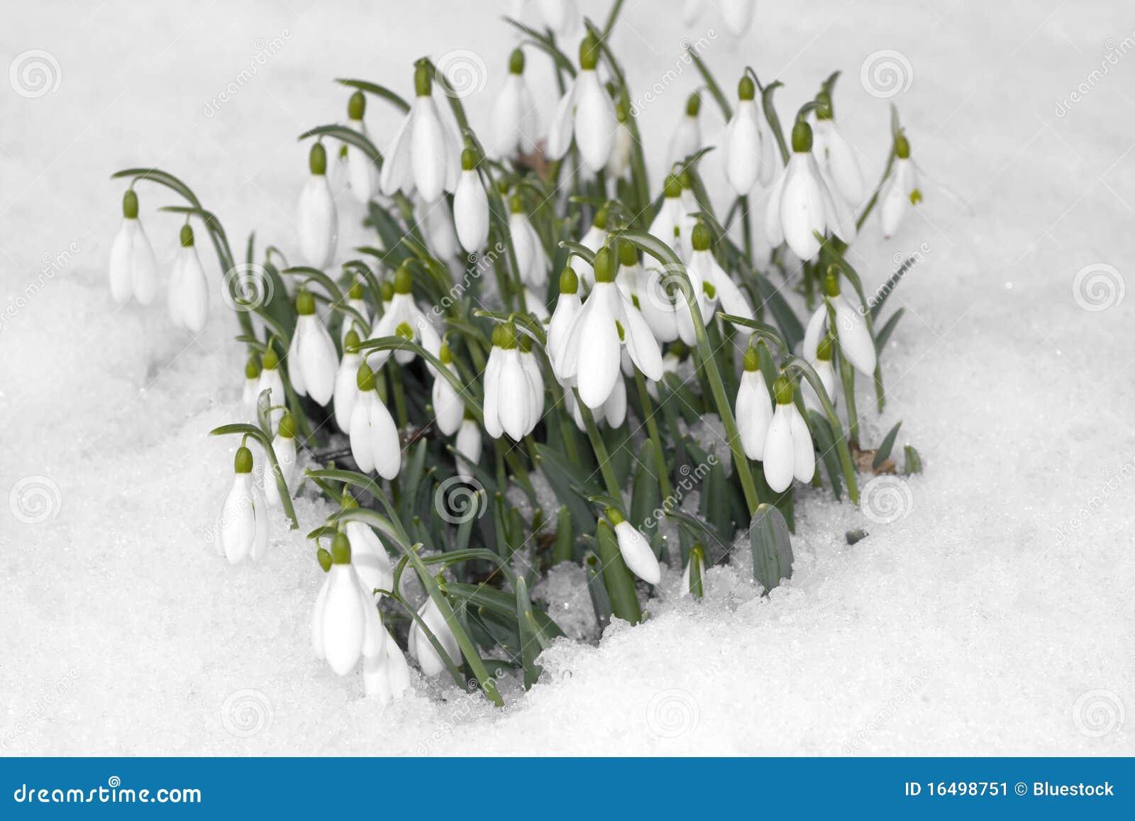 snowdrop blumen auf schnee stockbild bild von wei. Black Bedroom Furniture Sets. Home Design Ideas