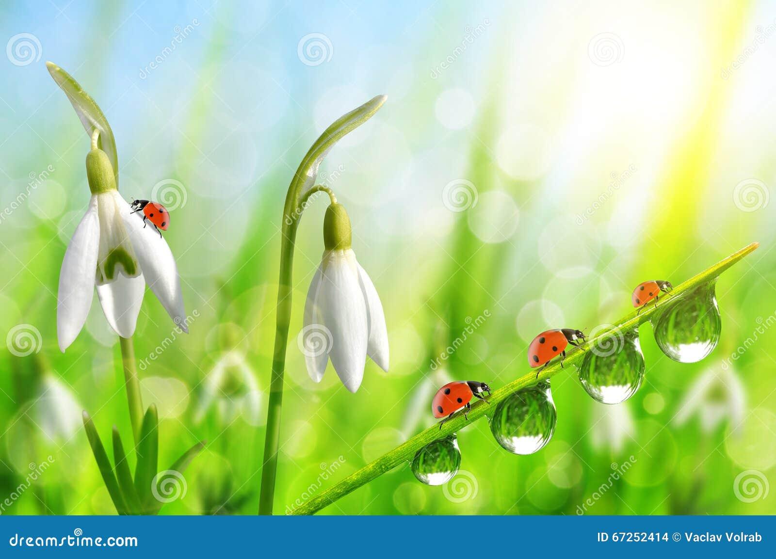 Snowdrop florece con la hierba y las mariquitas cubiertas de rocio en fondo natural del bokeh