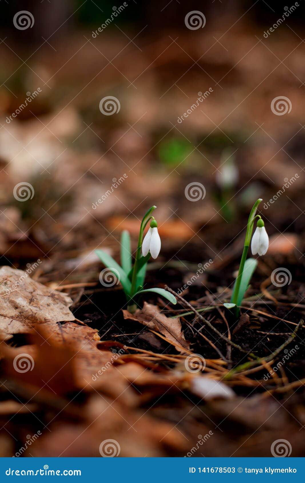 Snowdrop floresceu na floresta após o inverno
