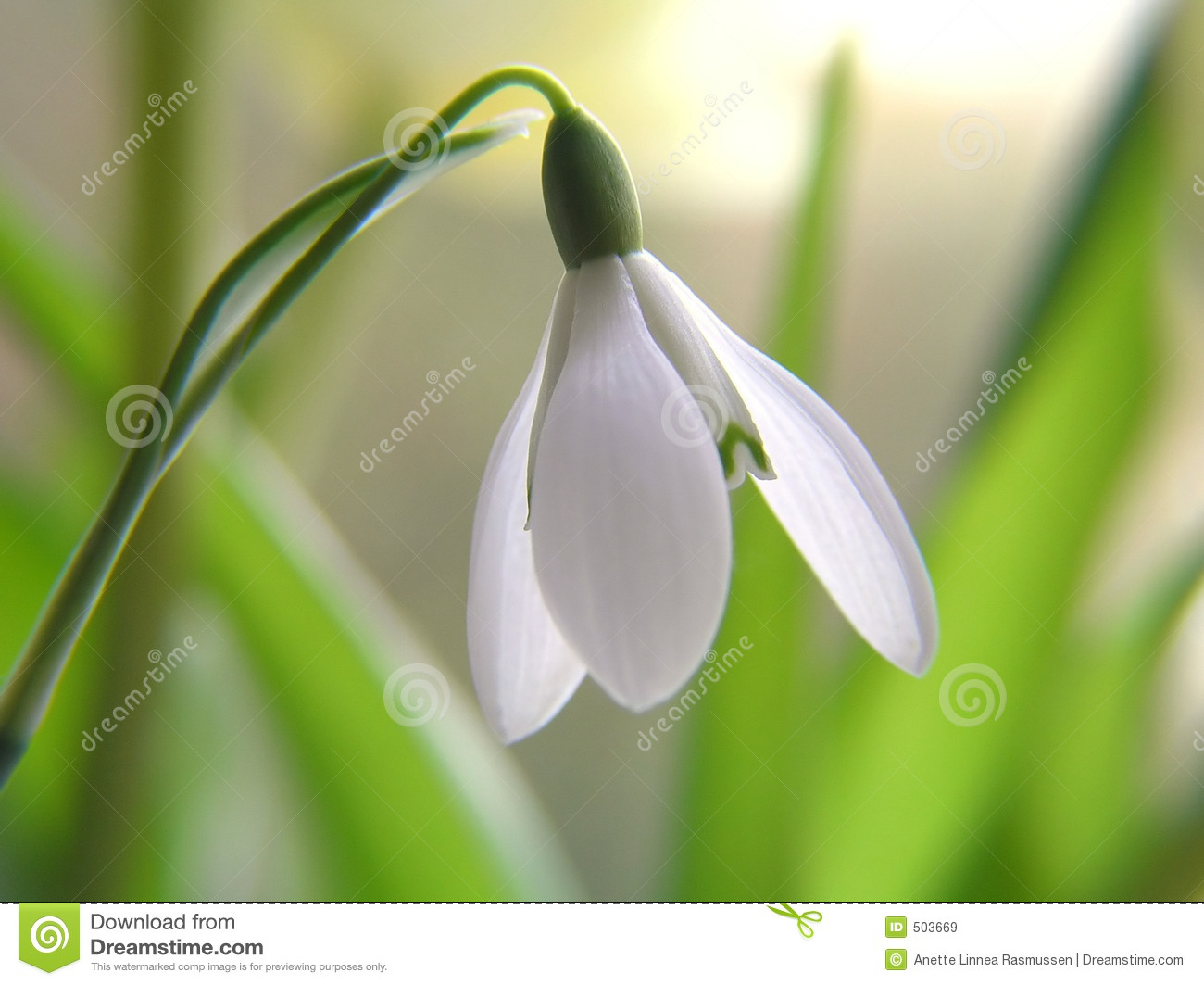 Close-up of white snowdrop flower on first spring day in snow.