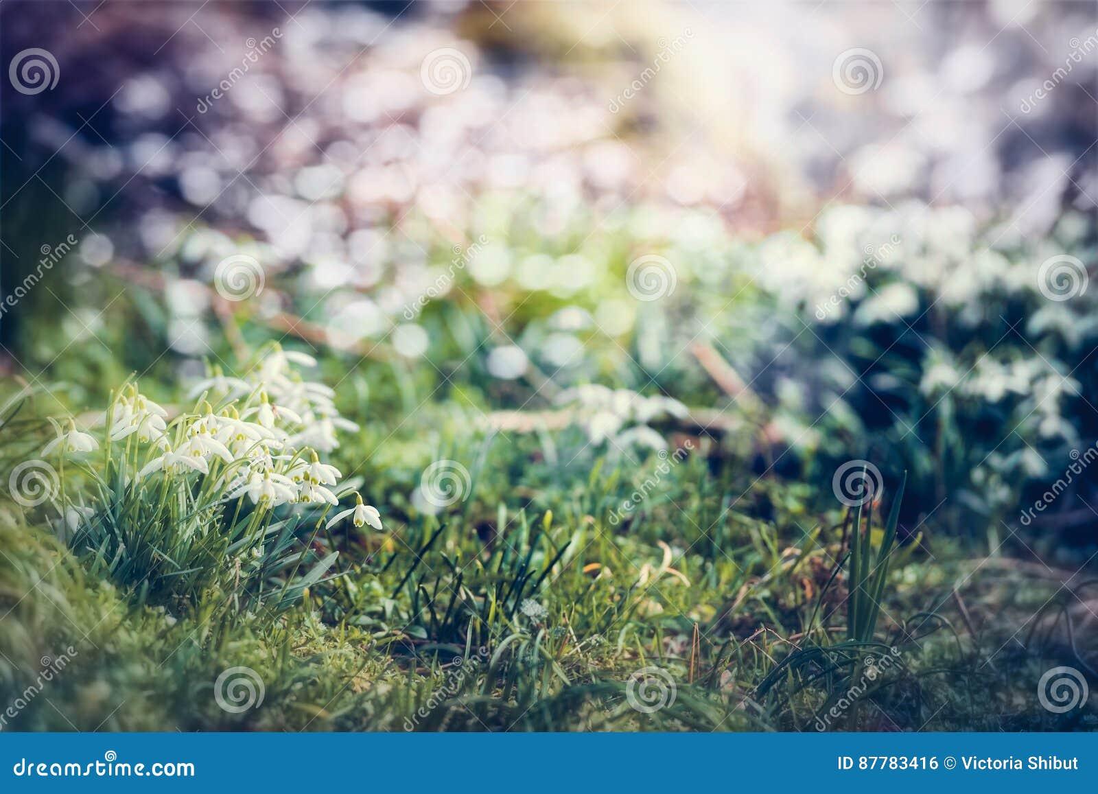 Snowdrops花,室外 与美好的春天自然场面的奇妙春天背景在庭院里