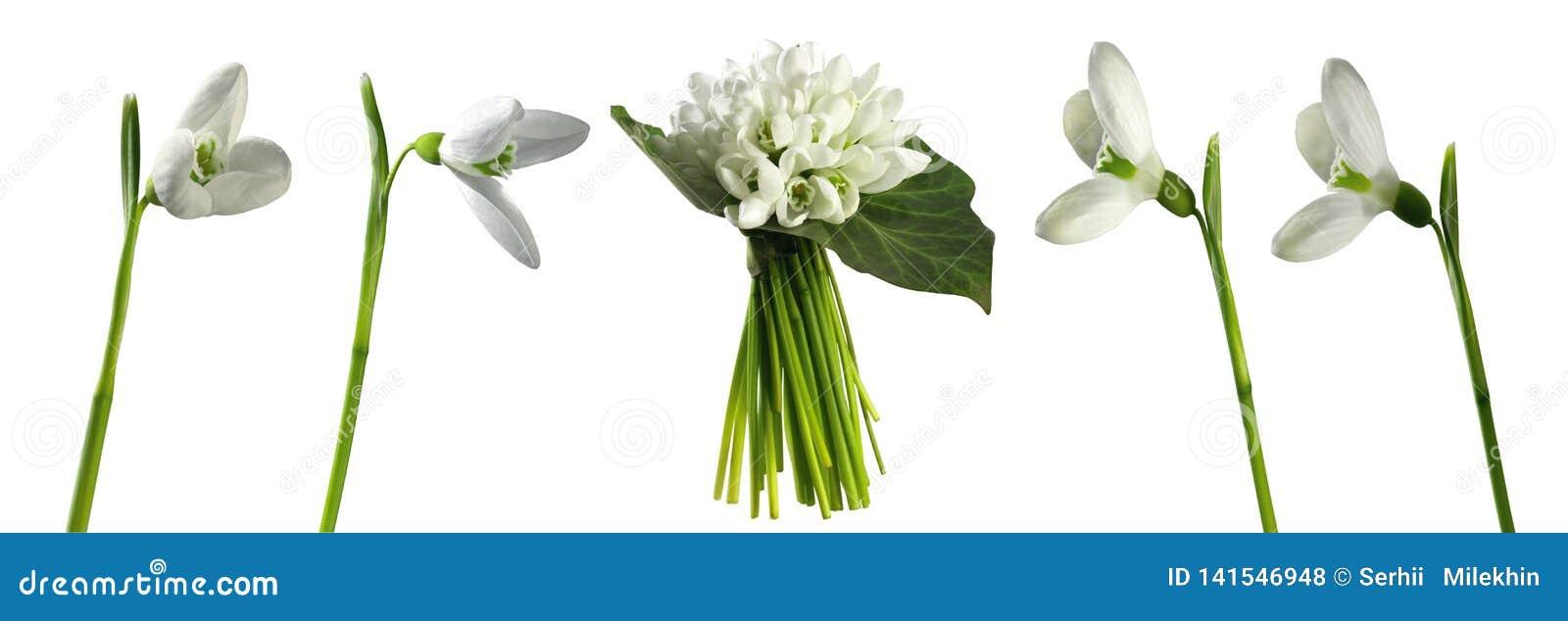 Snowdrops 在白色背景隔绝的第一朵春天花