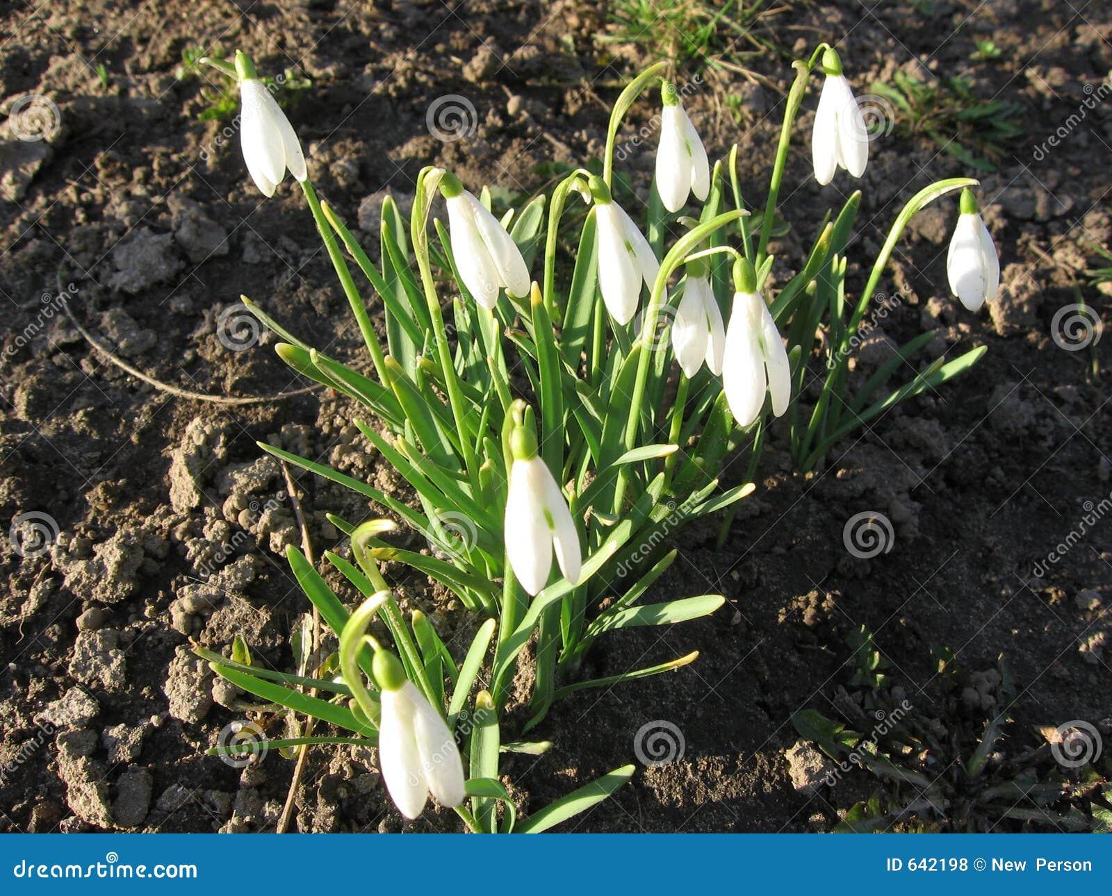 Download Snowdrops стоковое фото. изображение насчитывающей snowdrops - 642198