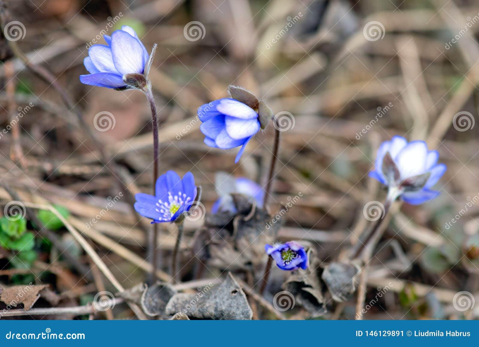 Snowdrops azuis na profundidade da floresta em abril de campo rasa