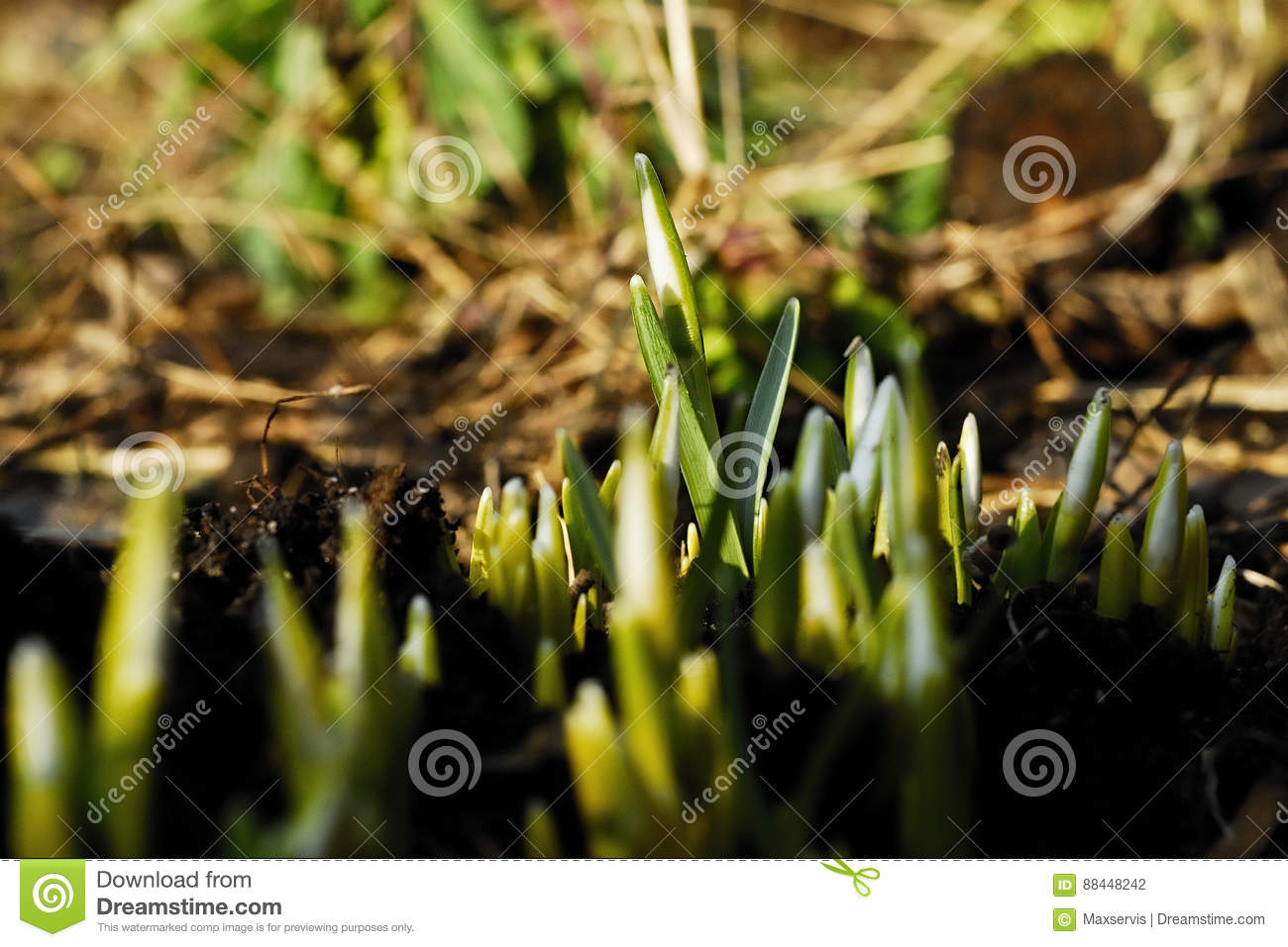 Snowdrops Stock Photo Image Of Plant Snowdrops Flower 88448242
