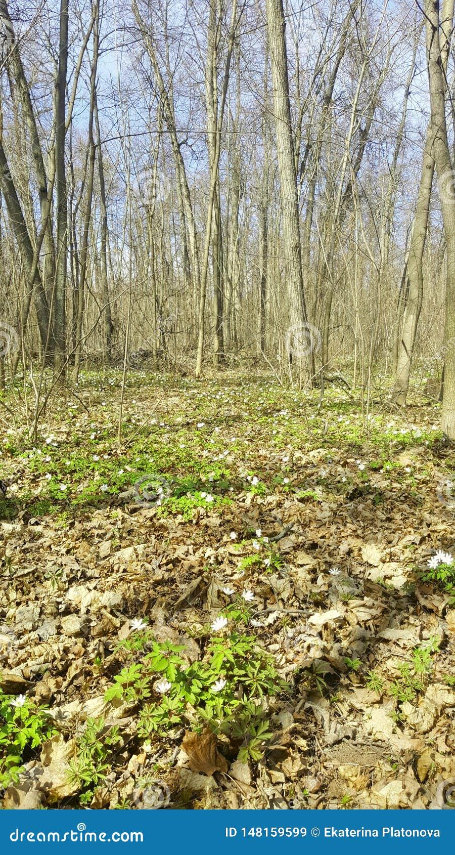 Snowdrops en el bosque en la primavera temprana Flores salvajes en el prado Flores de la primavera de Snowdrop
