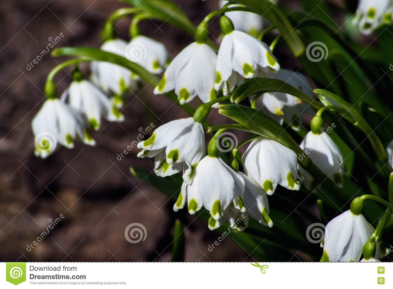 Snowdrops Are The First Spring Flowers That Bloom Early Spring Stock