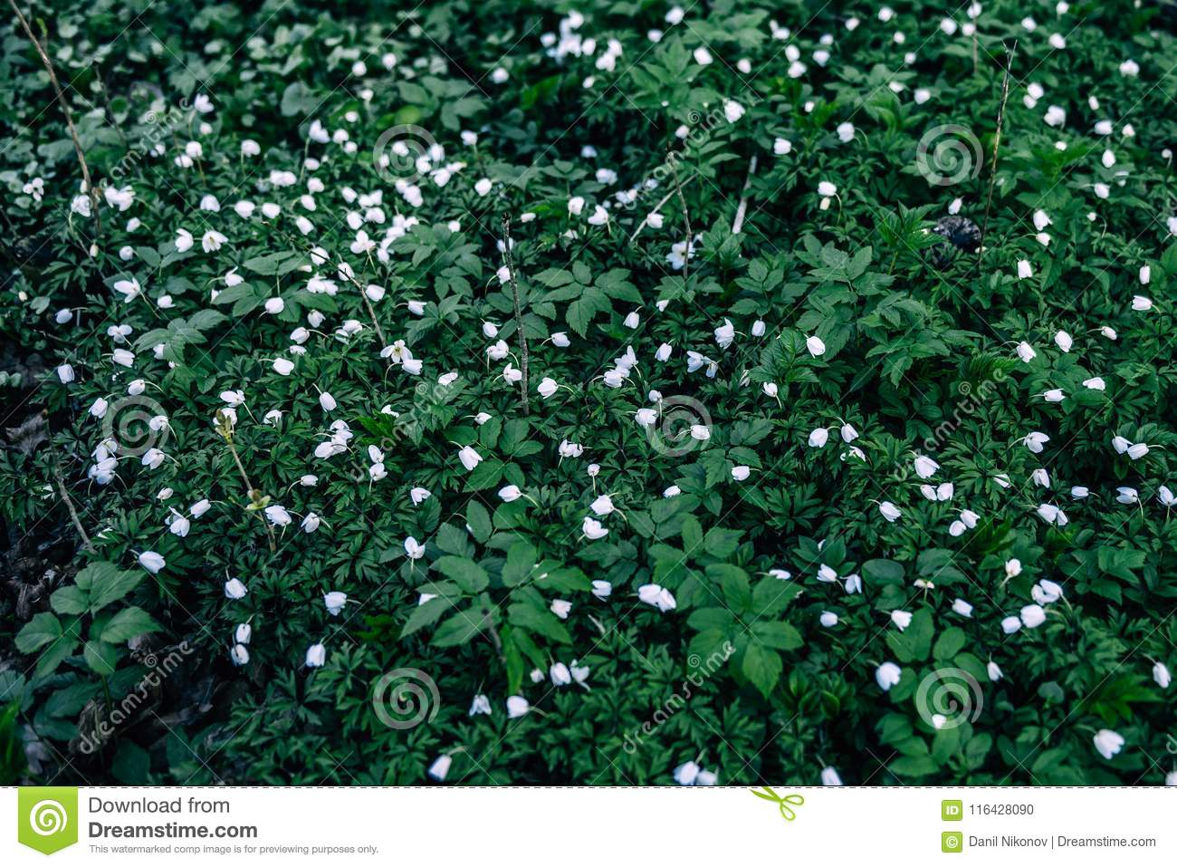Snowdrops Flowers In Springtime Floral Wallpaper Stock Photo